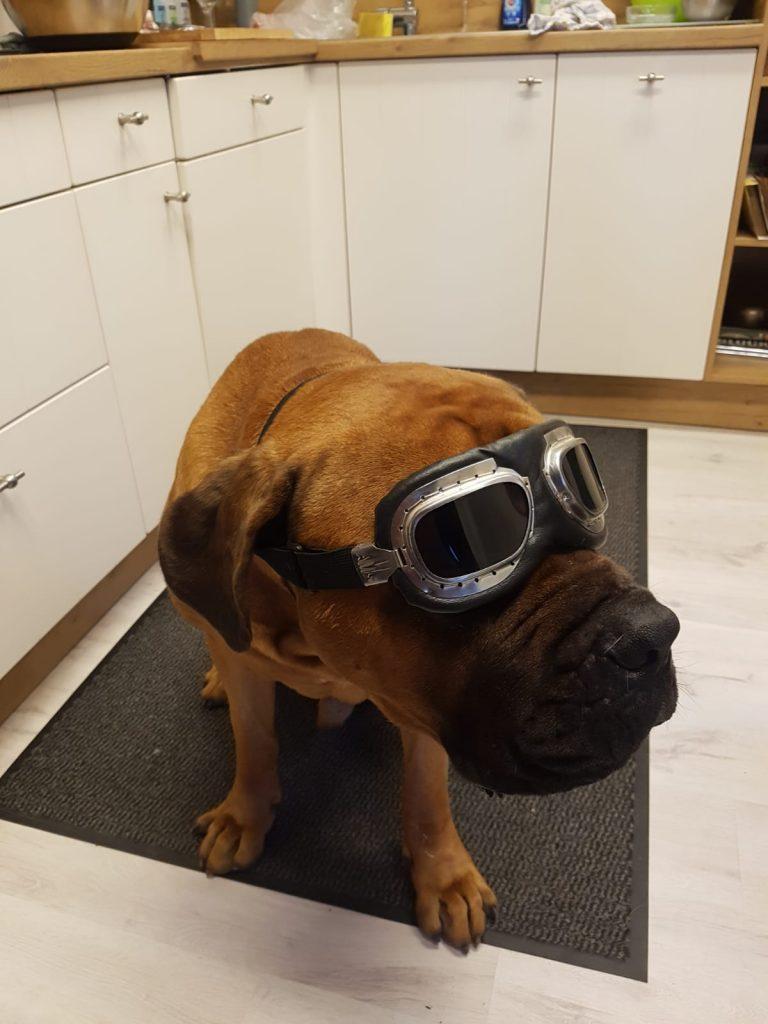 Hund trägt eine Motorradbrille