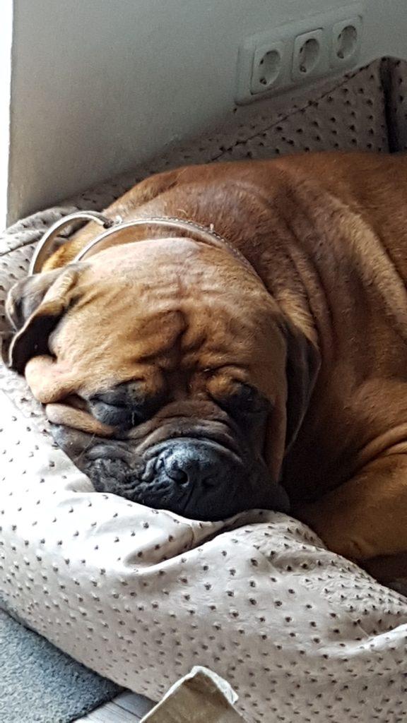 schlafender Hund im Körbchen